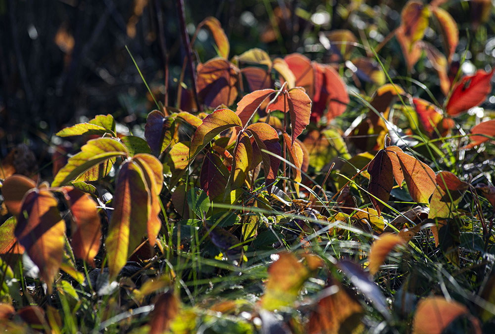 Even the poison ivy is beautiful in dawn light