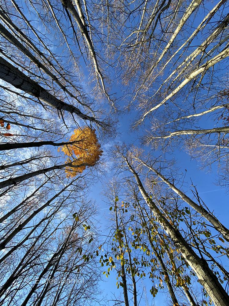Aspen grove looking up