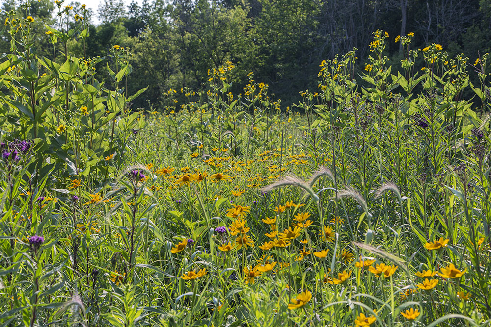A bouquet of prairie flowers along the Healing Nature Trail.