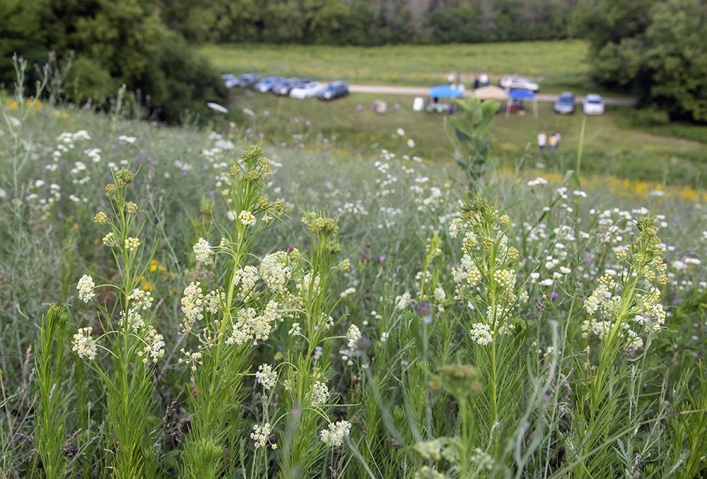 Whorled milkweed blossoms on the hillside above the open house tents.