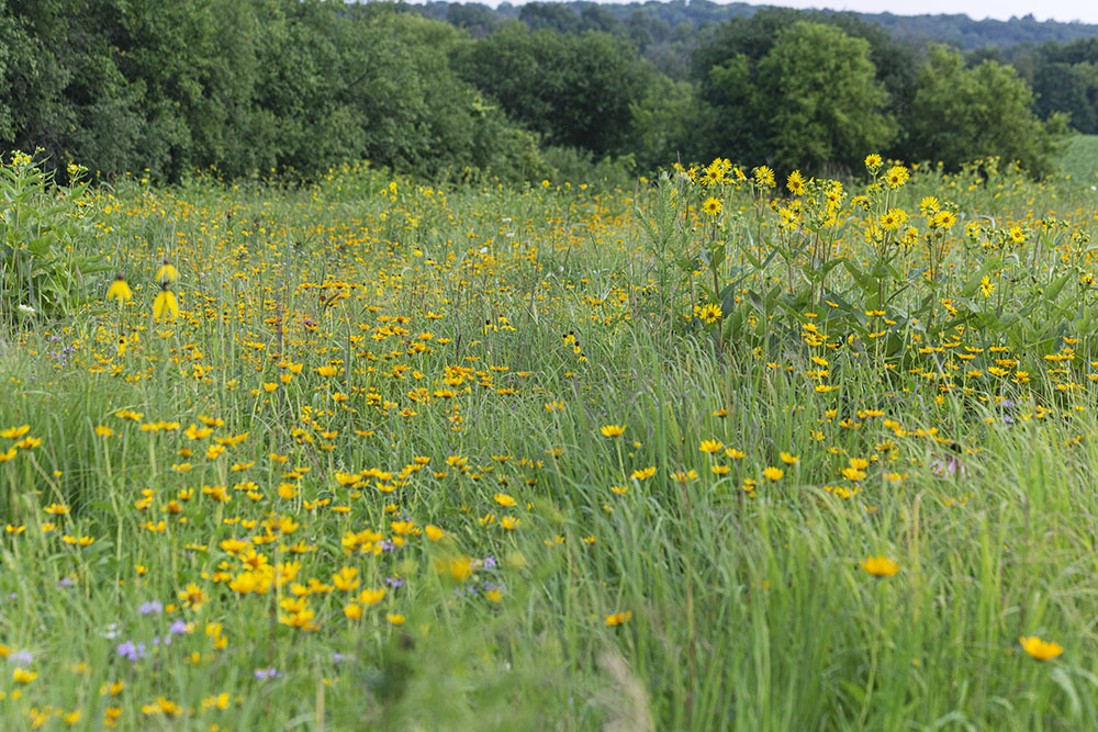 The prairie ablaze with a variety of yellow wildflowers.