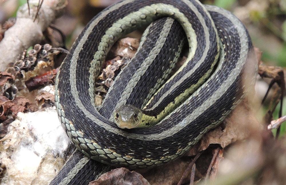 Butler's garter snake.