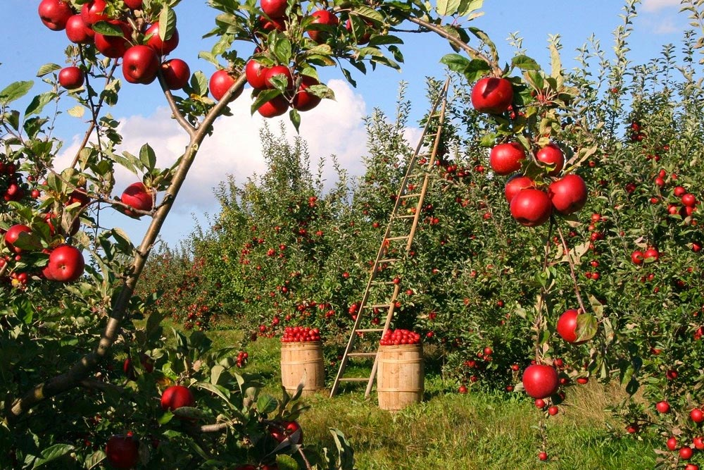 red apples hanging on trees and being harvested in barrels on the ground
