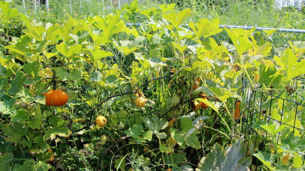 gourds-and-pumpkins-filbert-garden-compost