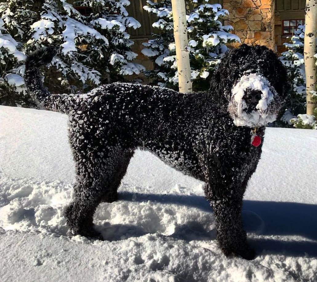 Schnoodle in the snow