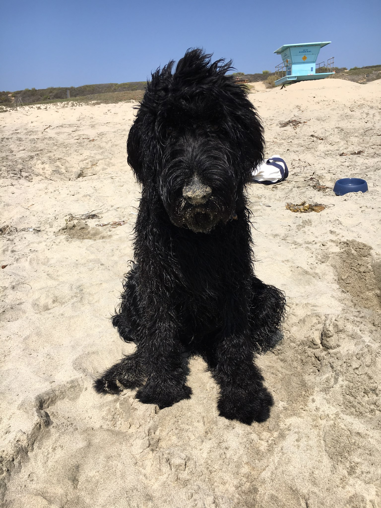 Schnoodle on the beach