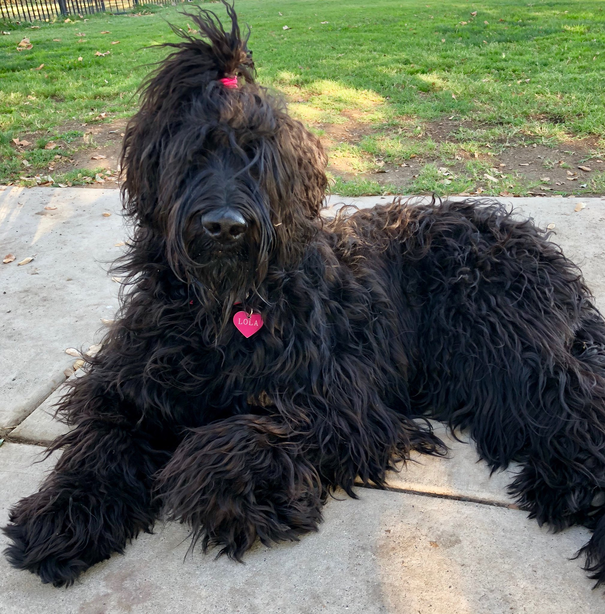 Schnoodle with ponytail