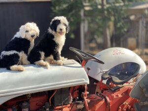 Sheepadoodle Puppies on Tractor