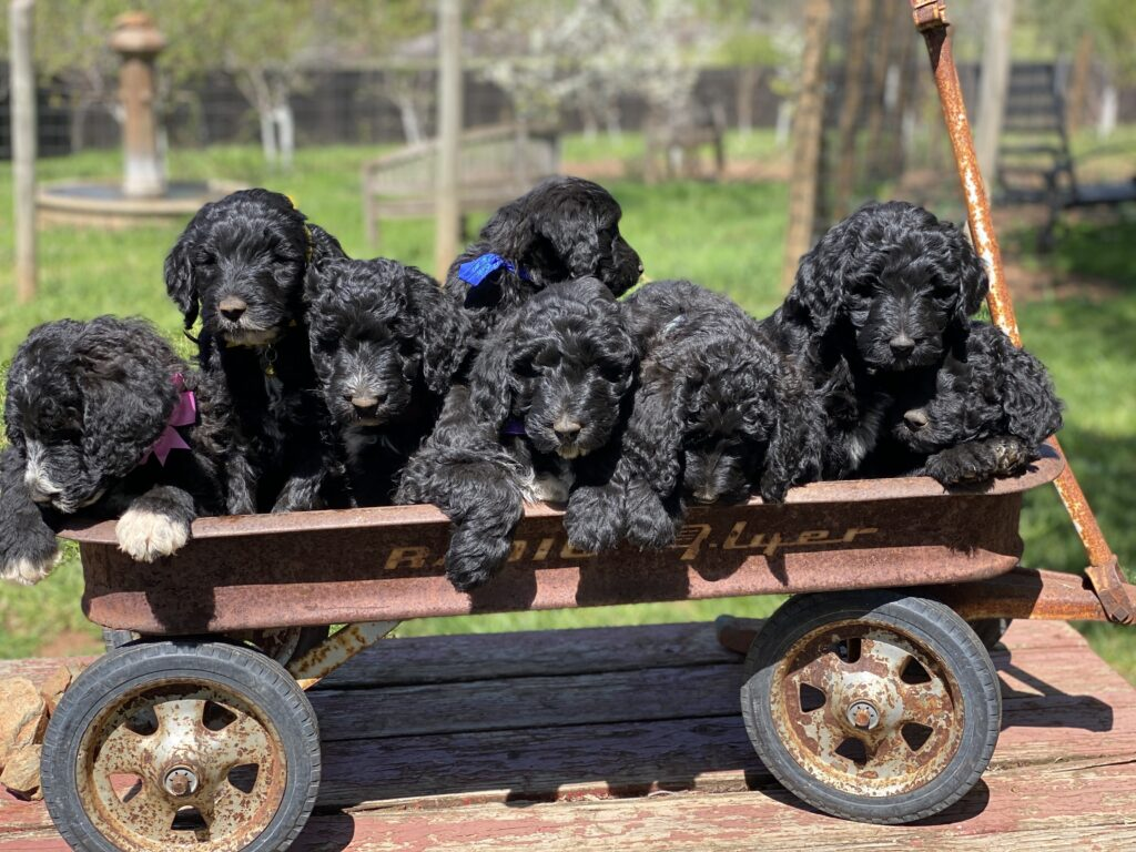 California Schnoodles Puppies in wagon