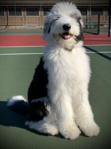 Sheepadoodle on tennis court