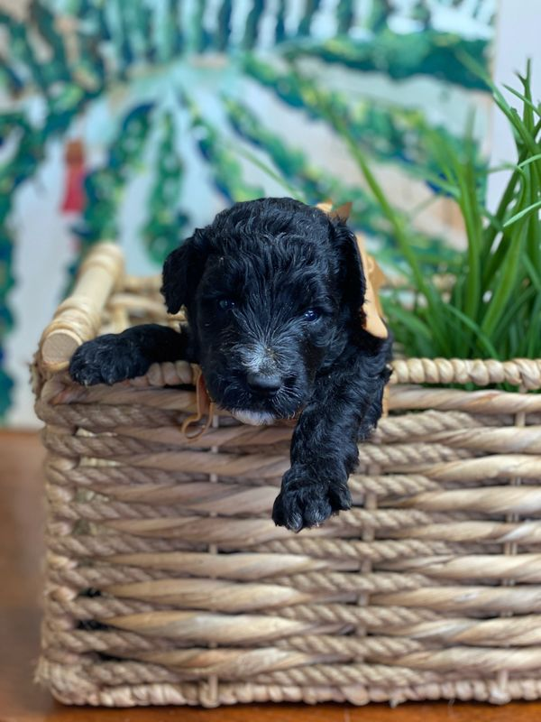 Schnoodle Puppy with orange bow