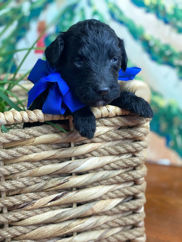 Schnoodle Puppy with blue bow