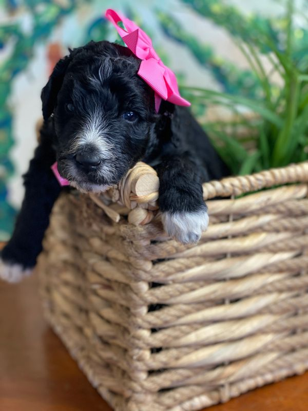 Schnoodle Puppy with pink bow