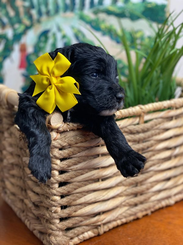 Schnoodle Puppy with yellow bow