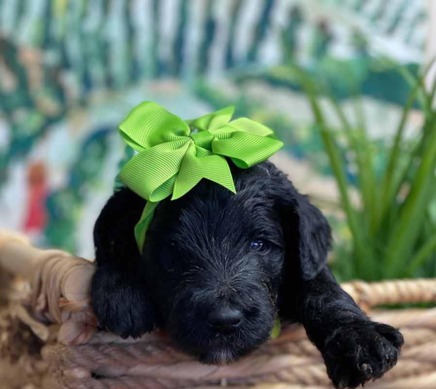 Schnoodle Puppy with green bow