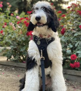 Sheepadoodle and flowers