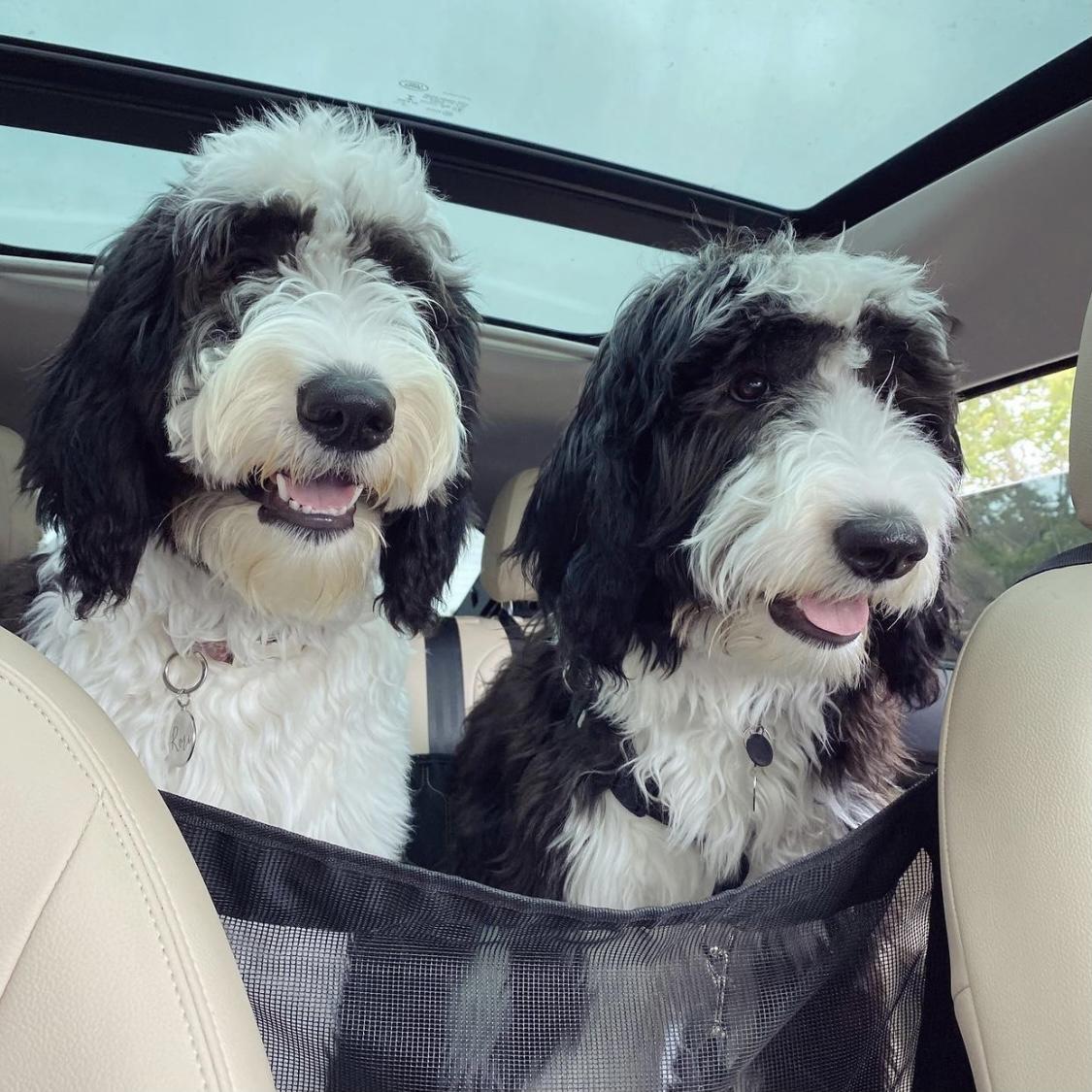 Sheepadoodles in the car