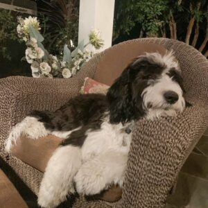 Sheepadoodle on chair