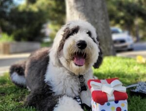 Sheepadoodle with toy