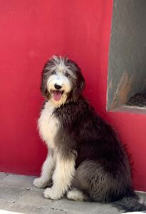 Sheepsdoodle by red wall
