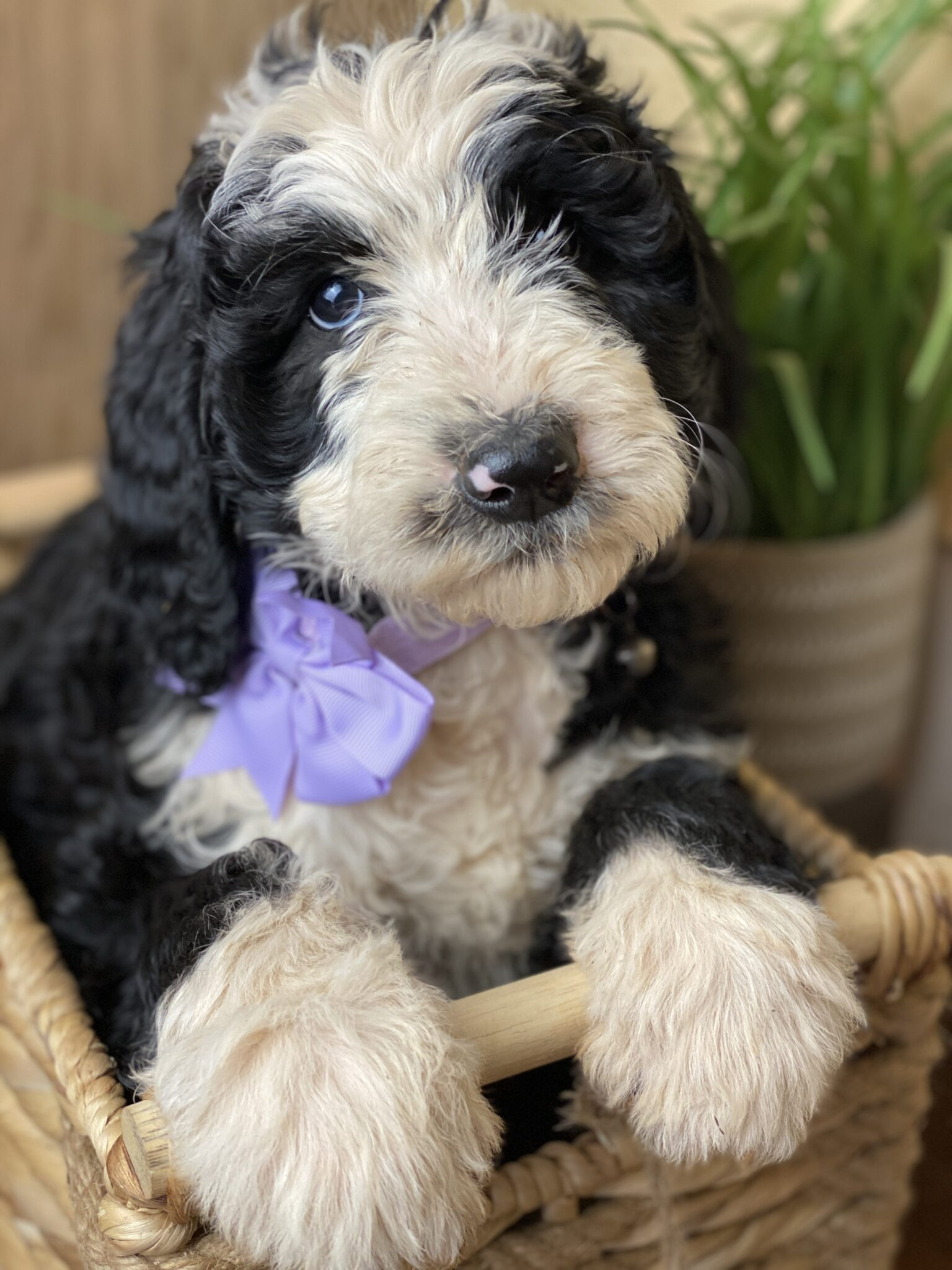 Schnoodle Puppy with Purple Bow