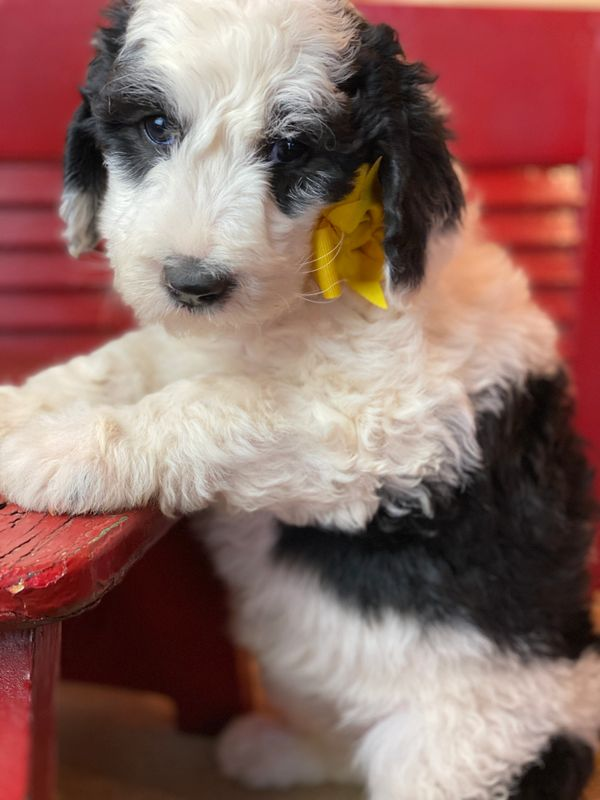 Sheepadoodle Puppy with Yellow Bow