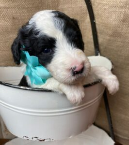 Sheepadoodle Puppy with Bow