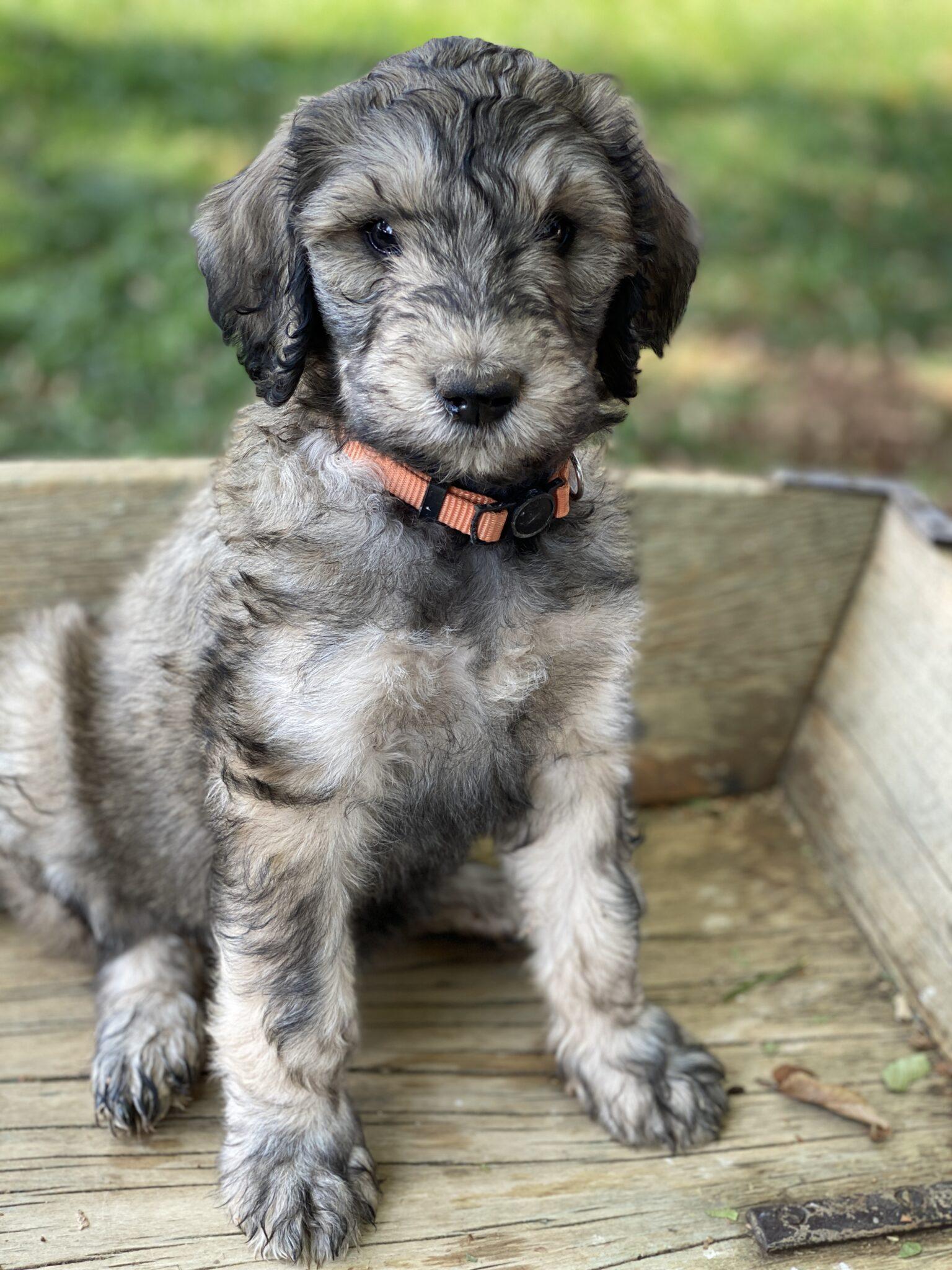 California Schnoodle Puppy