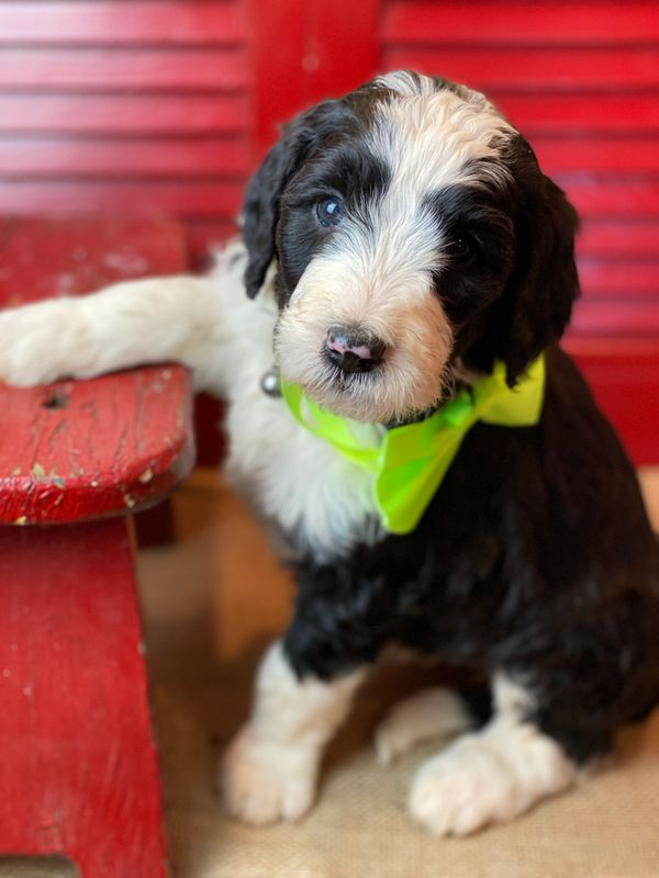 Sheepadoodle Puppy with Green Bow