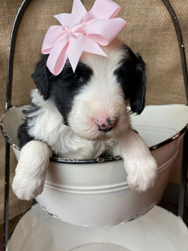 Sheepadoodle Puppy with Pink Bow