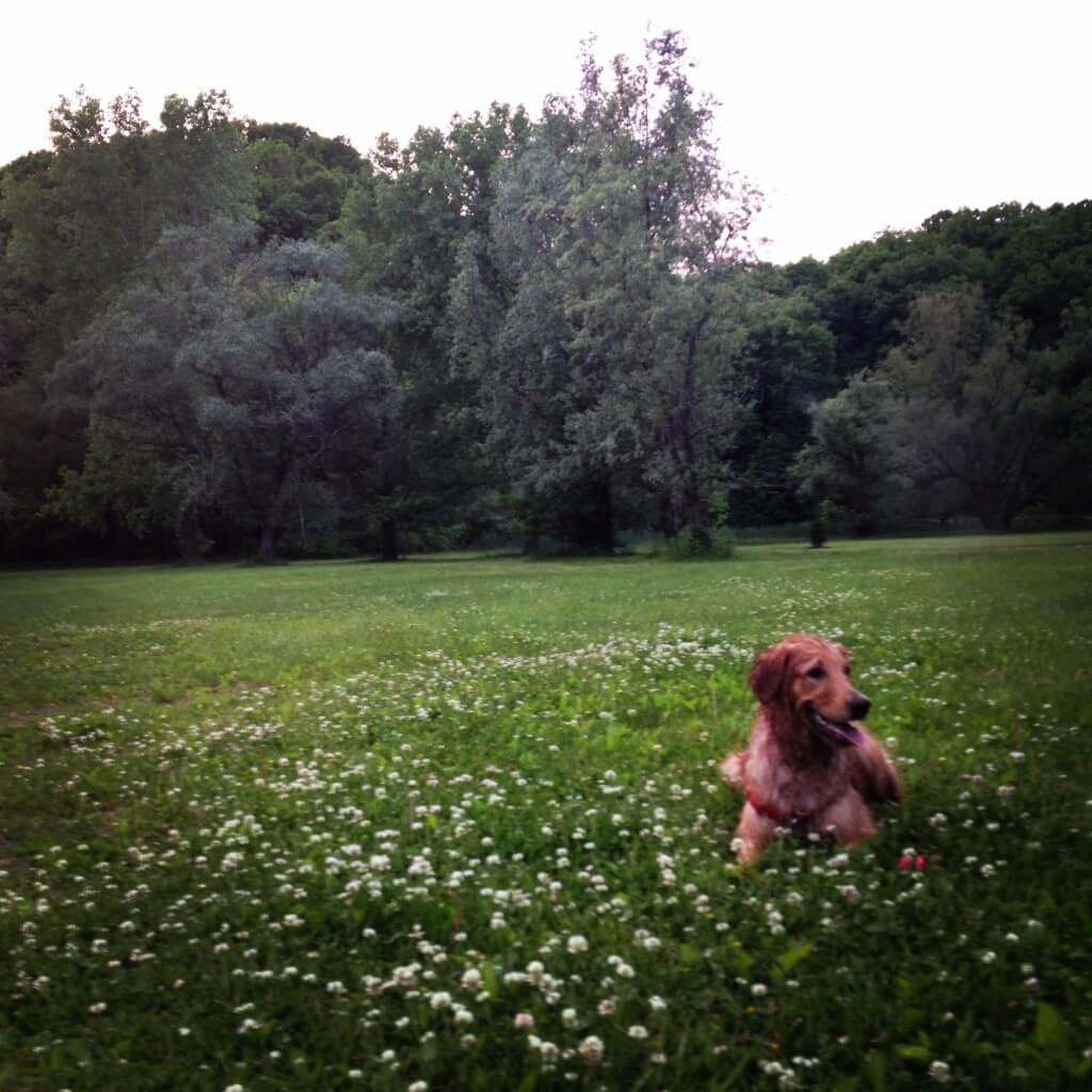 Golden Retriever at the park