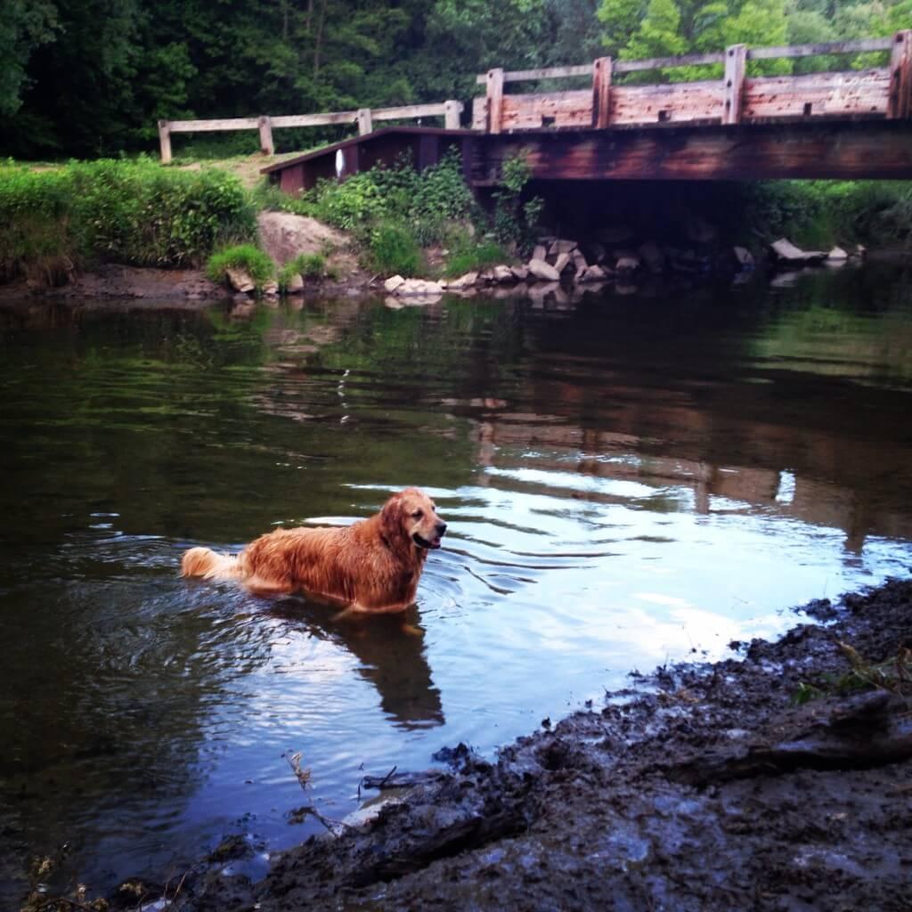 Golden retriever swimming at Ellison Park