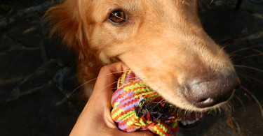 Charlie with his Mammoth Flossy Chews Braidys Ball