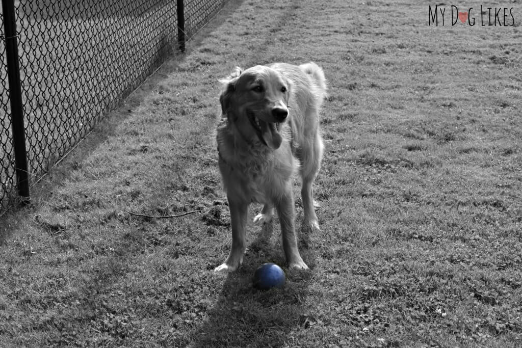 Our Golden Retriever Charlie standing over a Bocce ball