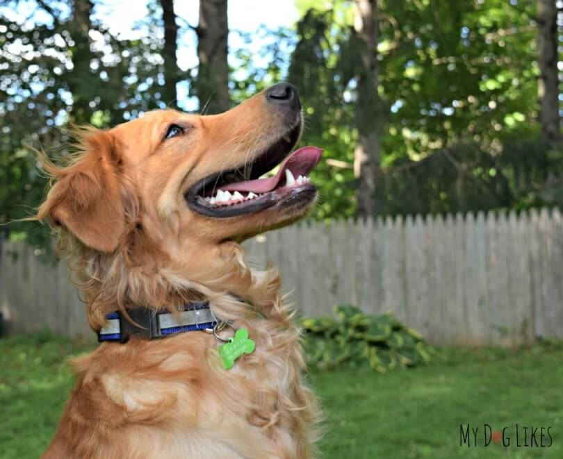 Charlie spotting a squirrel while modeling the Illumidog SOLAS Dog Collar