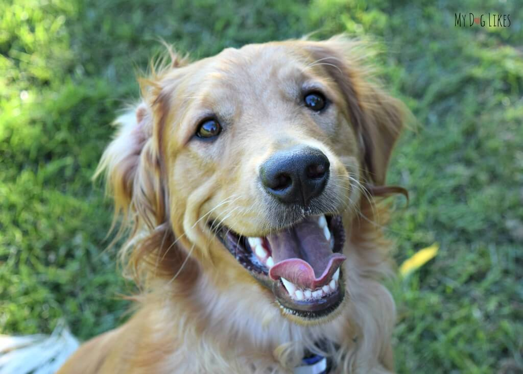 Charlie is such a happy Golden Retriever