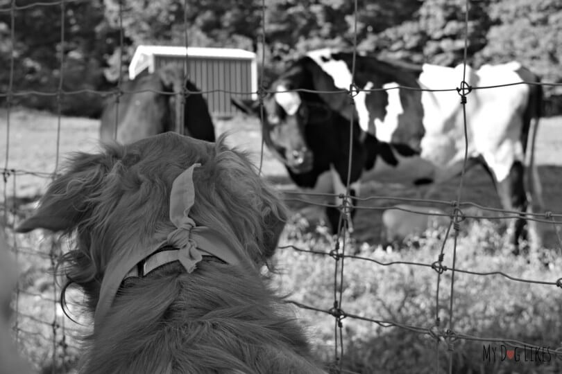 Charlie meeting the cows during the pet walk at Lollypop Farm's Barktober Fest