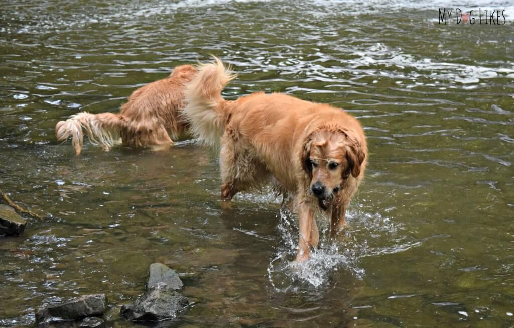 Harley pulling rocks out of Allen's Creek at Corbett's Glen