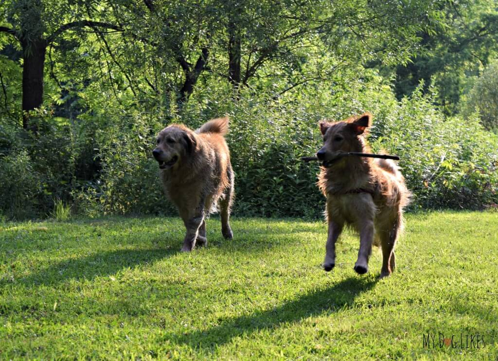 Harley and Charlie frolicking in the fields of Corbett's Glen