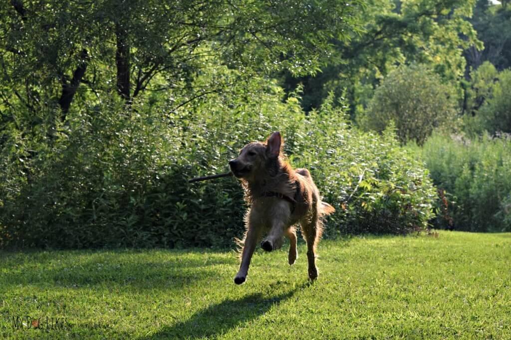 Our Golden Retriever Charlie fetching a stick!