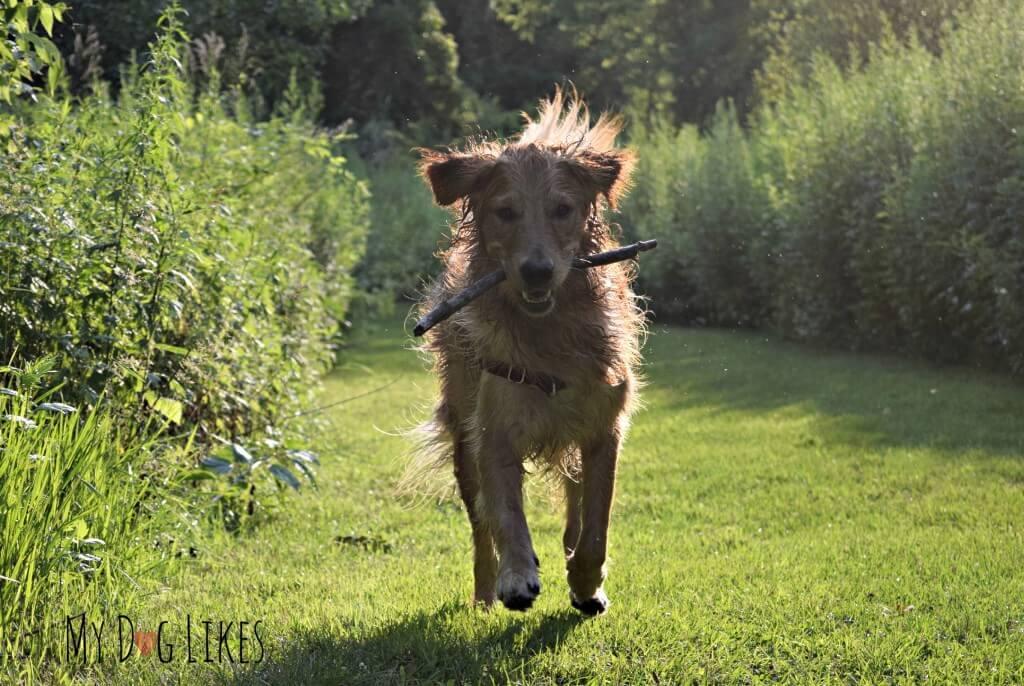 Charlie retrieving a stick at Corbett's Glen Nature Park