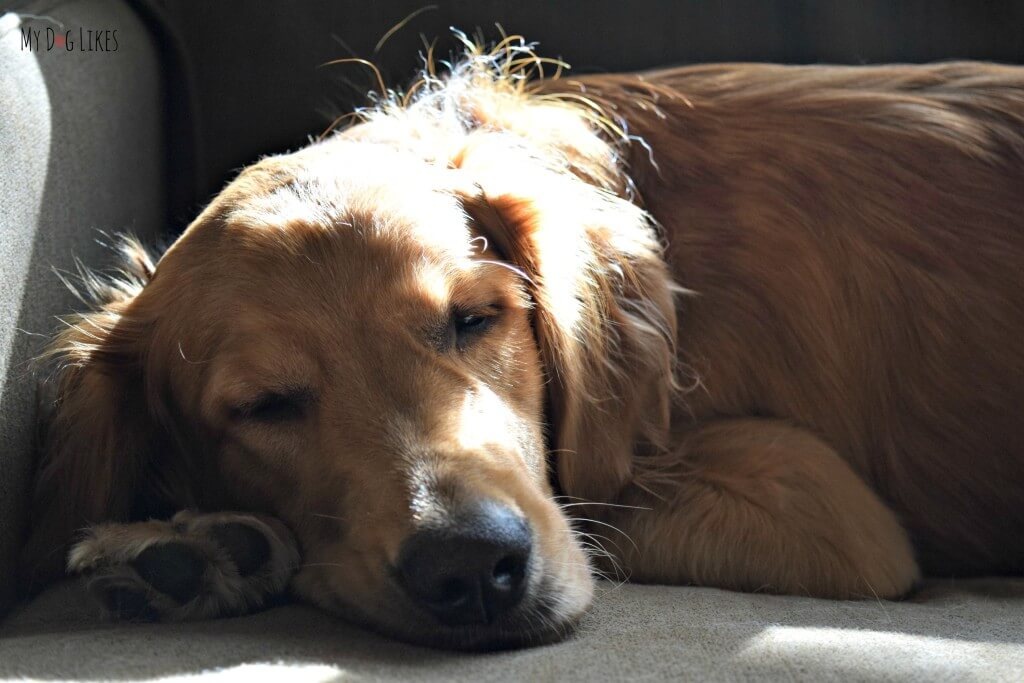 Sweet Charlie napping on the coach and soaking up some sun