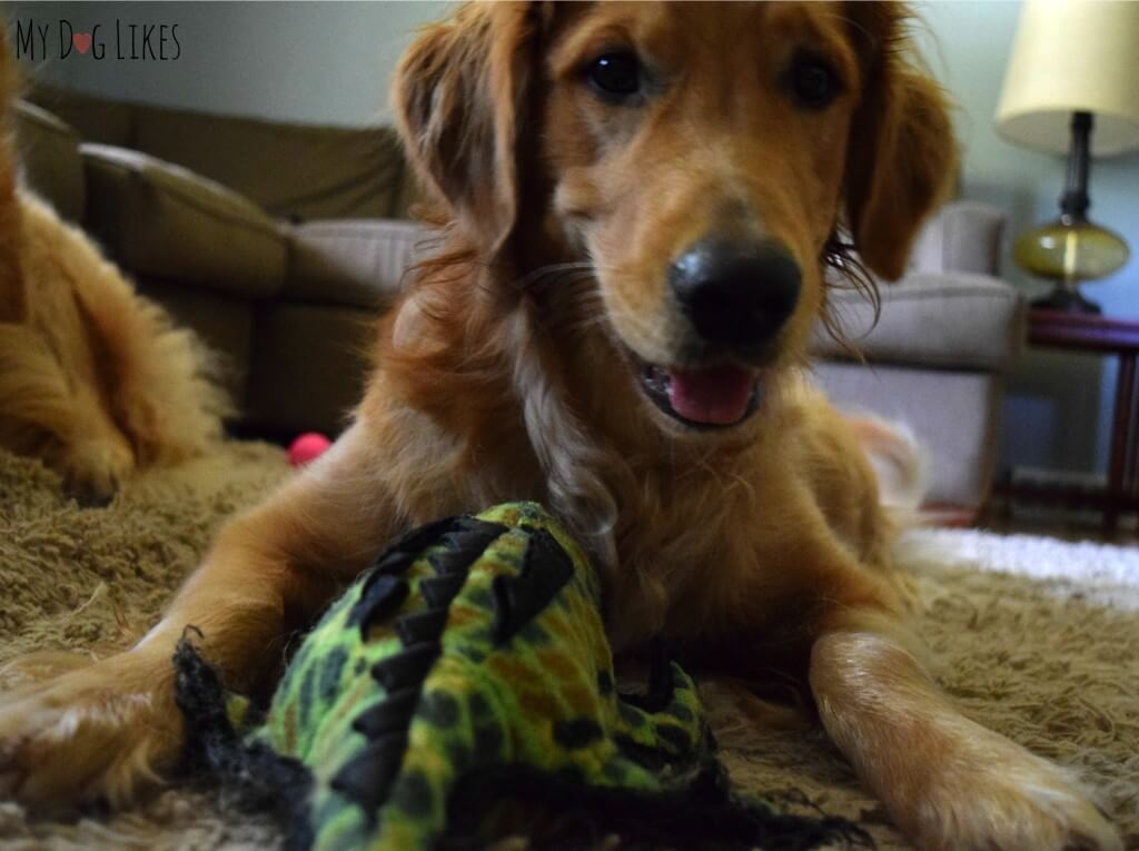 Charlie with his Tuffy Alligator dog toy
