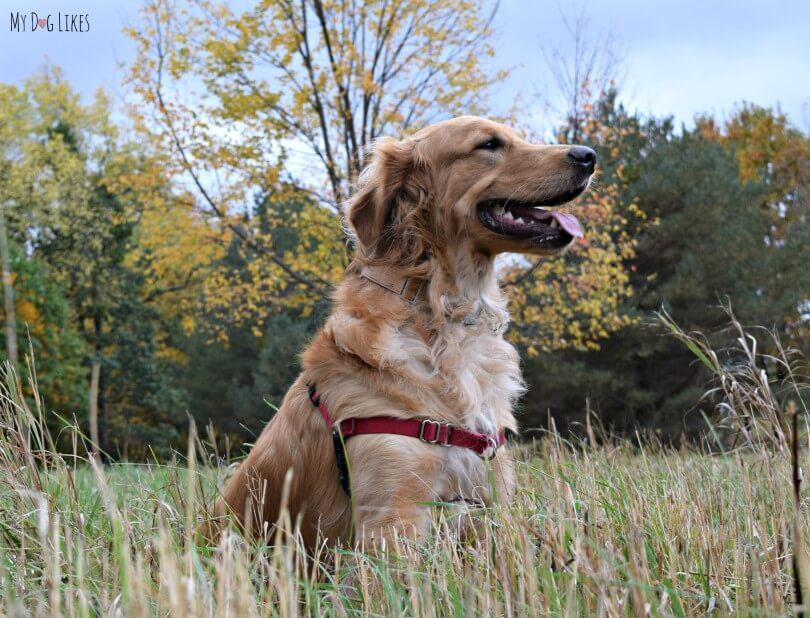 Our Golden Retriever Charlie looking quite majestic at Gosnell Big Woods in Webster, NY
