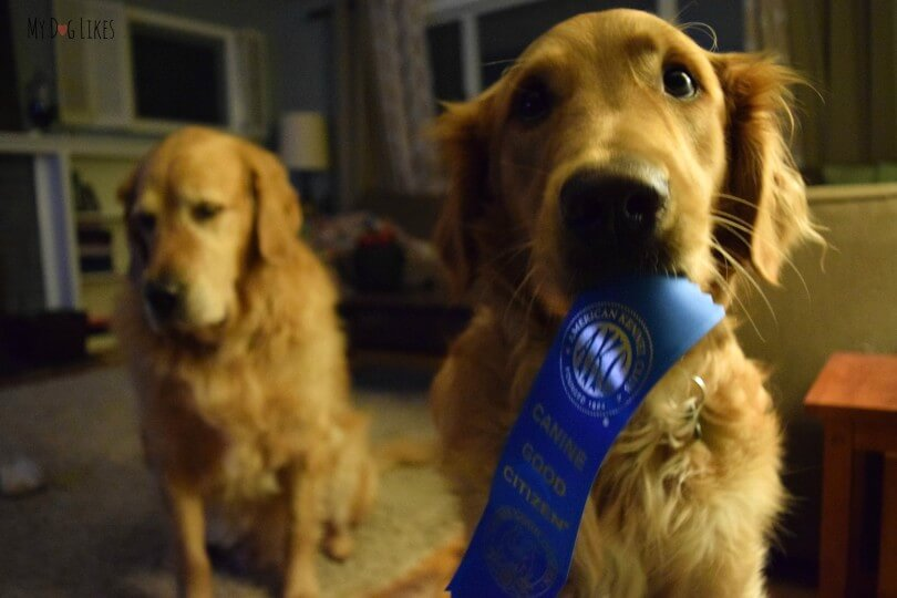 Charlie holding his ribbon for completing the American Kennel Club CGC certification course!