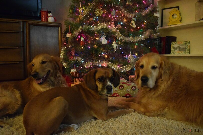 Harley and Charlie taking a dog Christmas photo with cousin Mia