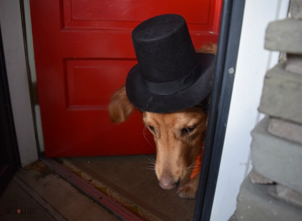 Our dog wearing a hat in order to enter the fancy New Year's Eve party!