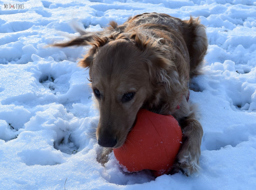 Keeping with our quest to highlight the best tough dog toys, MyDogLikes reviews the Zeus Bomber.