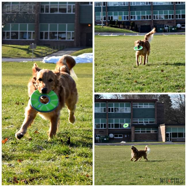 Our dog Charlie playing with his Chuckit! Ziplight Frisbee. This is the first frisbee he has ever caught!