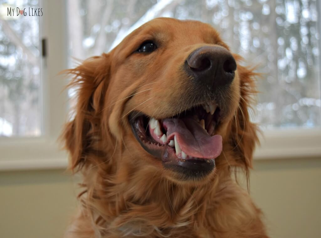 Charlie, our Golden Retriever dog smiling!